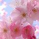 庆州樱花马拉松